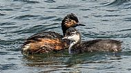 Black-Necked Grebe with young